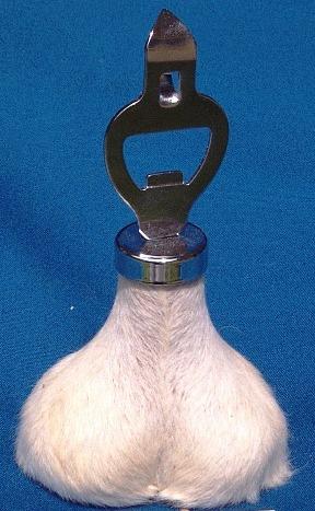kangaroo scrotum